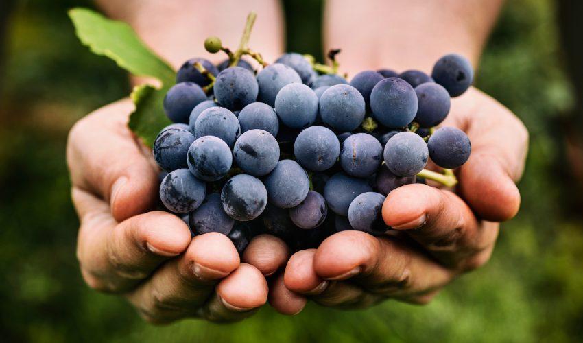 甜蜜蜜地防曬—多吃葡萄